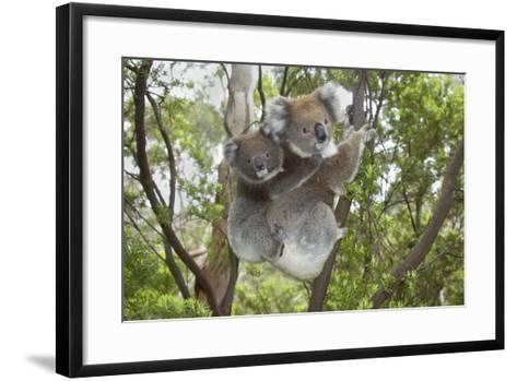 Koala Mother with Piggybacking Young Climbs Up--Framed Art Print