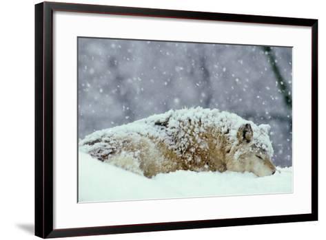 Grey Wolf Resting During Heavy Snow--Framed Art Print