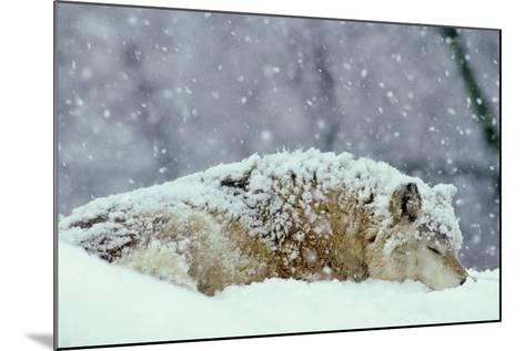 Grey Wolf Resting During Heavy Snow--Mounted Photographic Print