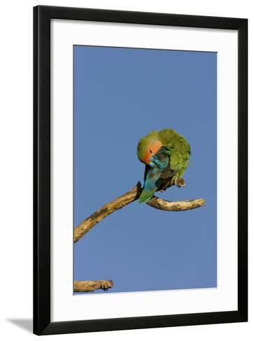 Rosy Faced Lovebird Preening--Framed Art Print