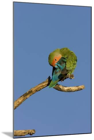 Rosy Faced Lovebird Preening--Mounted Photographic Print