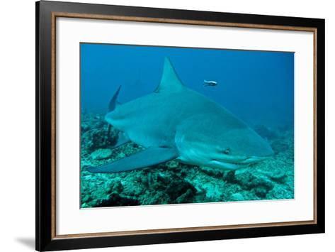 Bull Shark--Framed Art Print