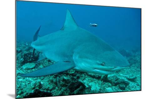 Bull Shark--Mounted Photographic Print