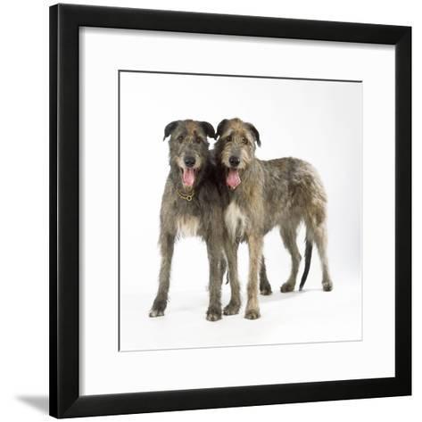 Two Irish Wolfhounds--Framed Art Print