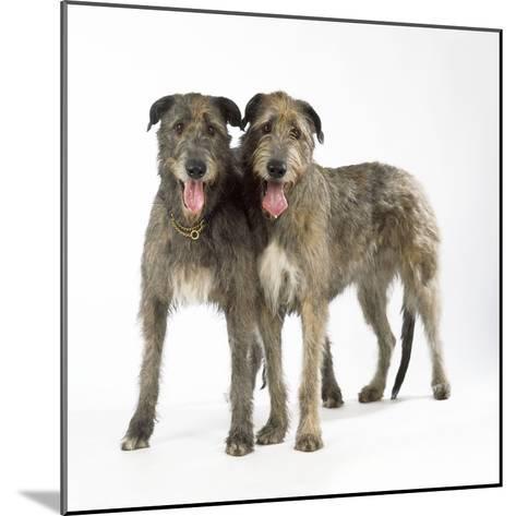 Two Irish Wolfhounds--Mounted Photographic Print