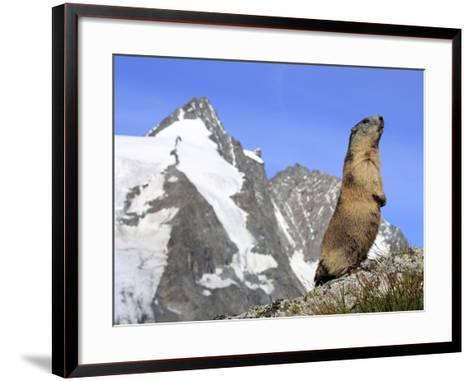 Alpine Marmot on Hind Legs--Framed Art Print