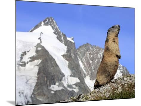 Alpine Marmot on Hind Legs--Mounted Photographic Print