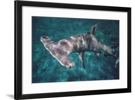 Great Hammerhead Shark--Framed Art Print