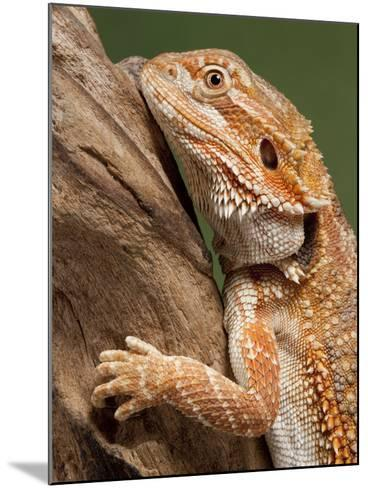 Yellow-Headed Bearded Dragon--Mounted Photographic Print