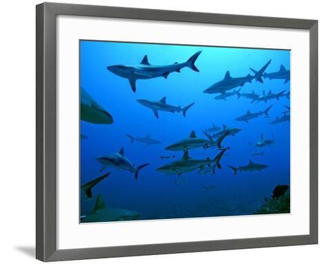 Grey Reef Sharks in the Tumotos, French Polynesia--Framed Art Print