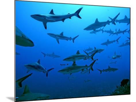 Grey Reef Sharks in the Tumotos, French Polynesia--Mounted Photographic Print