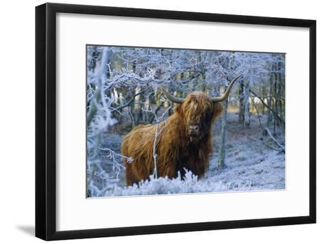 Scottish Highland Cow in Frost--Framed Art Print