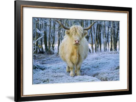 Scottish Highland Cow in Frost--Framed Art Print