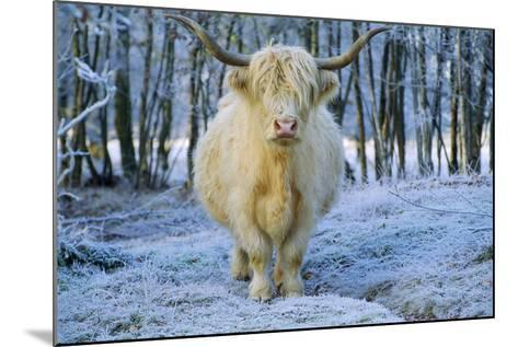 Scottish Highland Cow in Frost--Mounted Photographic Print