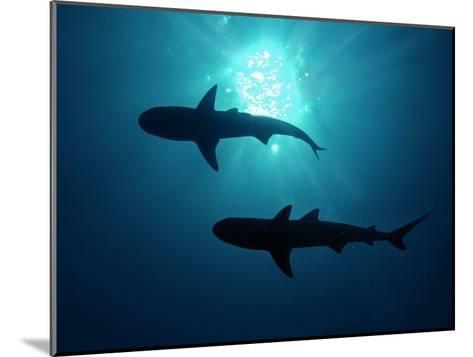 Grey Reef Sharks Grey Reef Sharks--Mounted Photographic Print
