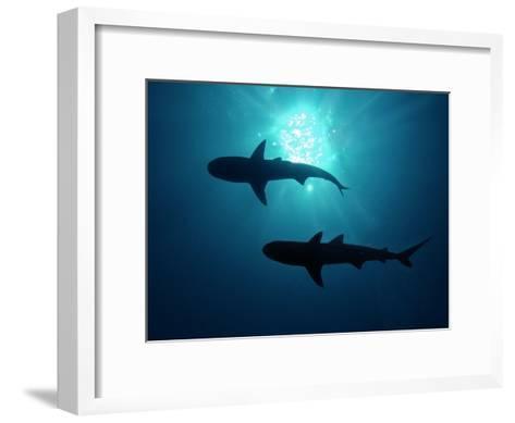 Grey Reef Sharks Grey Reef Sharks--Framed Art Print