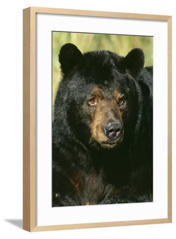 North American Black Bear Adult Male, Close-Up--Framed Art Print