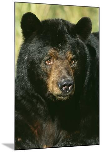 North American Black Bear Adult Male, Close-Up--Mounted Photographic Print