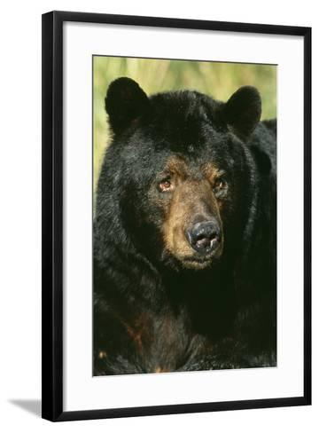 North American Black Bear Adult Male, Close-Up--Framed Art Print