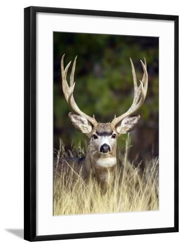 Mule Deer Buck--Framed Art Print