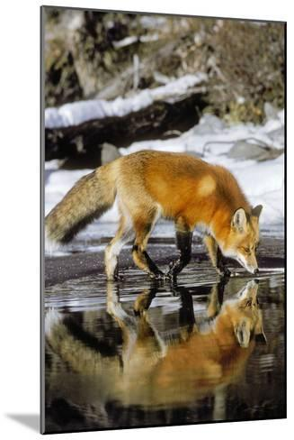 Red Fox Along Edge of Freezing Lake, November--Mounted Photographic Print