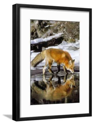 Red Fox Along Edge of Freezing Lake, November--Framed Art Print