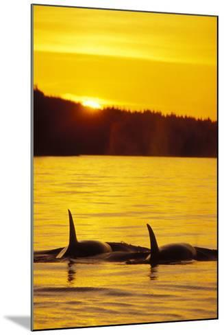Killer Whale--Mounted Photographic Print