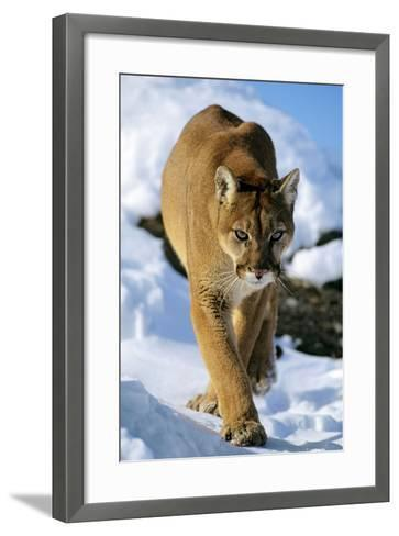 Puma in Winter--Framed Art Print