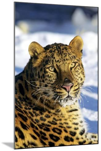 Korean Leopard--Mounted Photographic Print