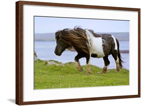 Piebald Shetland Pony Magnificent Leading Stud--Framed Art Print