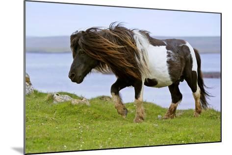 Piebald Shetland Pony Magnificent Leading Stud--Mounted Photographic Print