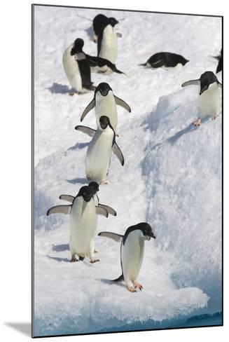 Adelie Penguin on Iceberg--Mounted Photographic Print