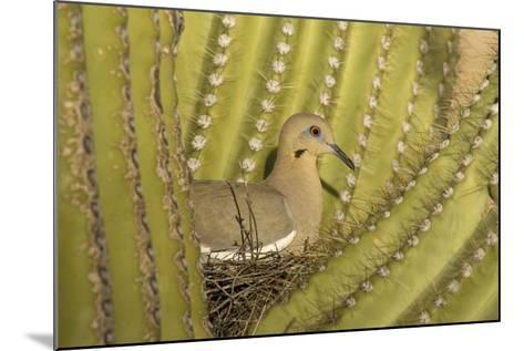 White-Winged Dove--Mounted Photographic Print