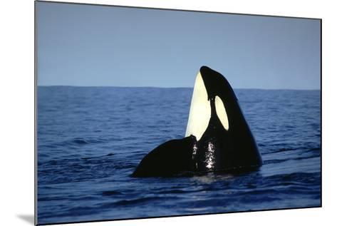 Orca Whale Spy Hopping--Mounted Photographic Print