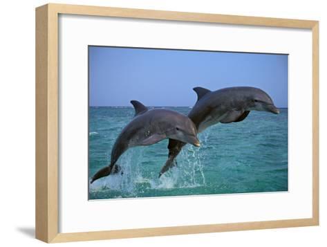 Two Bottlenosed Dolphins Jumping--Framed Art Print