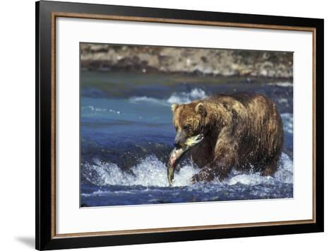Coastal Grizzly Bear with Salmon in Mouth--Framed Art Print