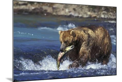 Coastal Grizzly Bear with Salmon in Mouth--Mounted Photographic Print
