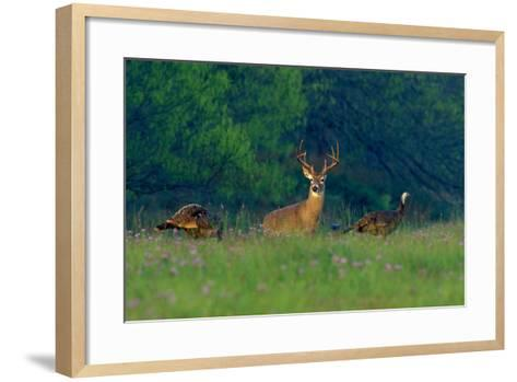 White-Tailed Deer Buck with Rio Grande Wild Turkeys--Framed Art Print