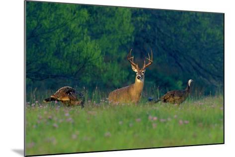 White-Tailed Deer Buck with Rio Grande Wild Turkeys--Mounted Photographic Print