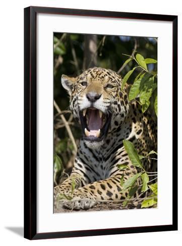 Jaguar Lying Down Yawning--Framed Art Print