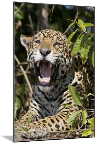 Jaguar Lying Down Yawning--Mounted Photographic Print