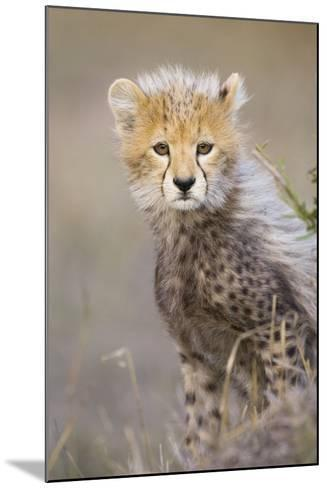 Cheetah 10-12 Week Old Cub--Mounted Photographic Print