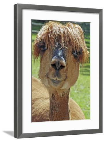 Alpaca--Framed Art Print