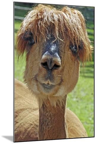 Alpaca--Mounted Photographic Print