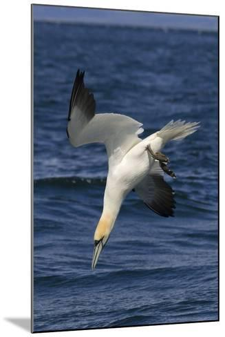 Northern Gannet Diving for Fish--Mounted Photographic Print