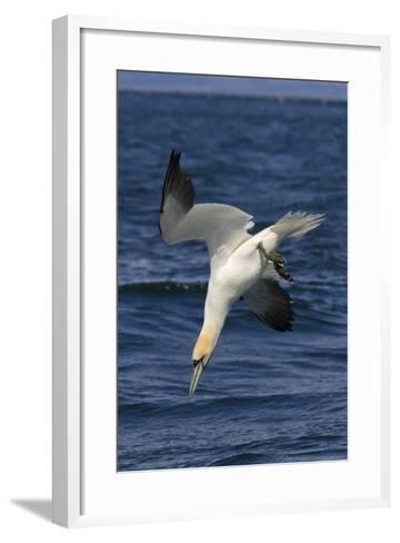 Northern Gannet Diving for Fish--Framed Art Print