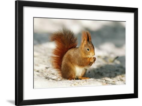 Red Squirrel--Framed Art Print