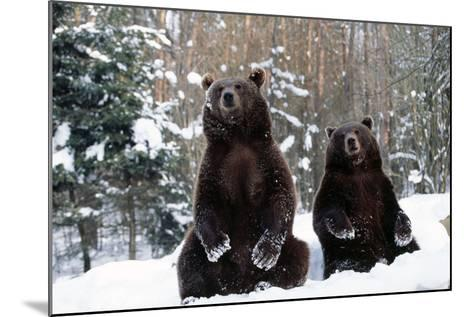 European Brown Bear Two Sitting in Snow--Mounted Photographic Print