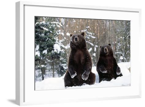 European Brown Bear Two Sitting in Snow--Framed Art Print