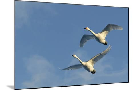 Whooper Swan Two in Flight--Mounted Photographic Print